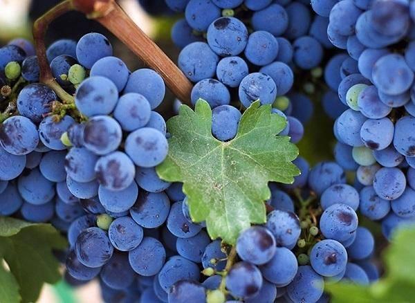Виноград левокумский устойчивый: характеристика и описание сорта, посадка и уход