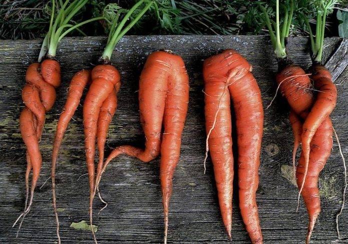 Морковь: посадка и уход, выращивание из семян в открытом грунте, уборка, хранение, фото