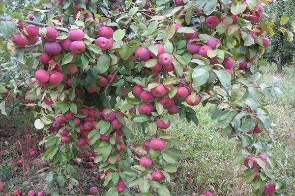 Яблоня флорина: описание сорта, фото, отзывы садоводов, видео