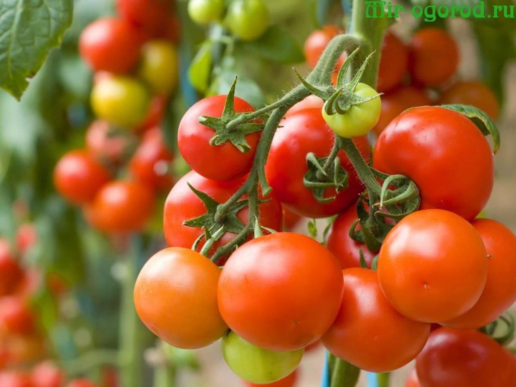 Почему нет завязи на помидорах в теплице из поликарбоната, но кусты цветут?