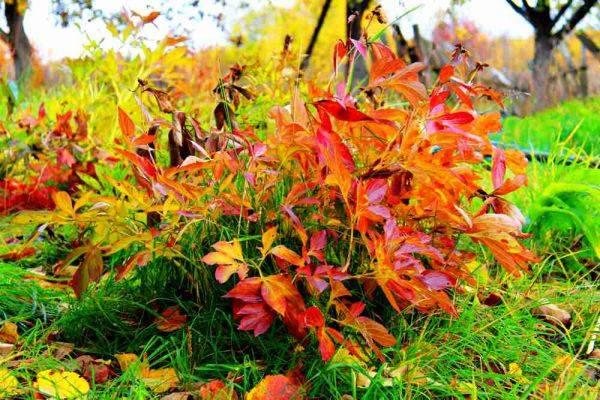 Подготовка к зиме – уход за пионами осенью