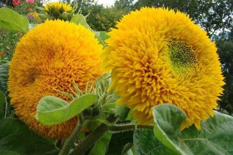 Подсолнух декоративный: выращивание из семян, посадка и уход