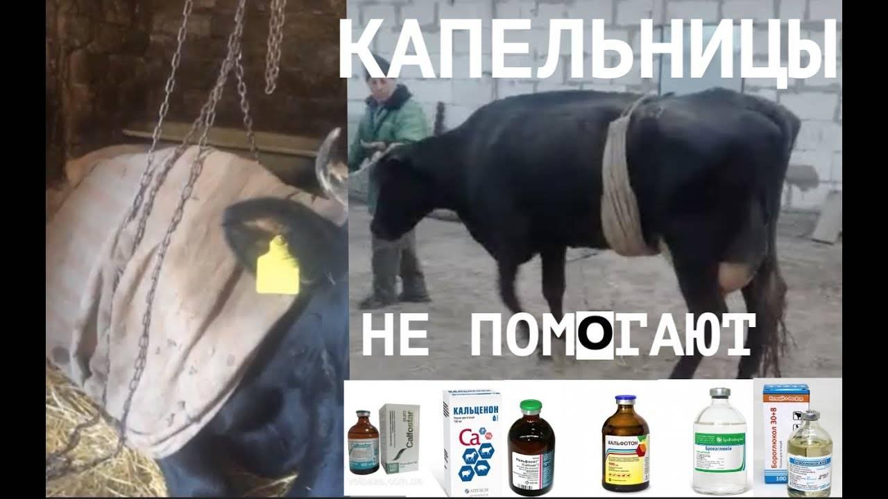Что делать, если корова ослабла и не встает на ноги, в чем причина и как ее поднять