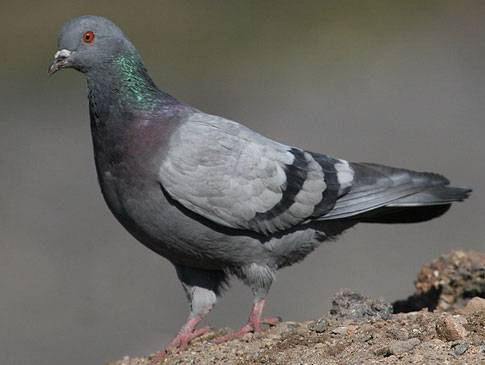 Как спариваются голуби описание анатомического процесса
