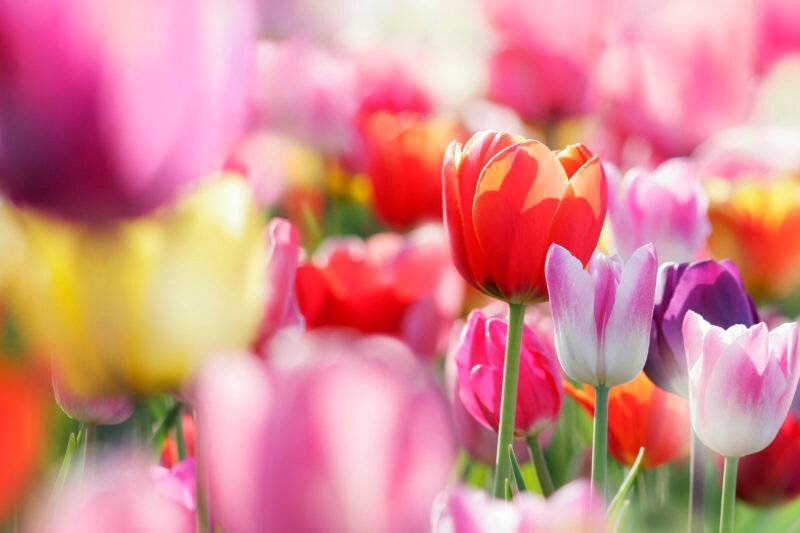 Как хранить срезанные тюльпаны дома