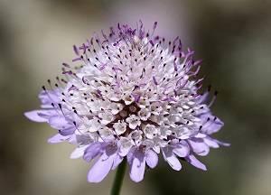 Цветы скабиоза фото, выращивание из семян. посадка и уход за скабиозой