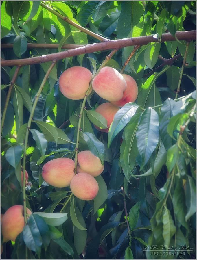 Персики и нектарины для подмосковья: 20 самых лучших сортов с описанием и фото