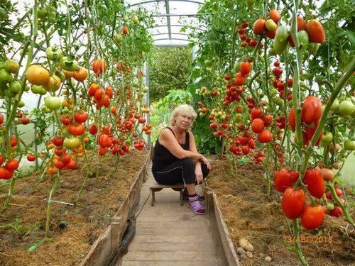 Уход за помидорами в теплице из поликарбоната + видео как ухаживать за помидорами в теплице