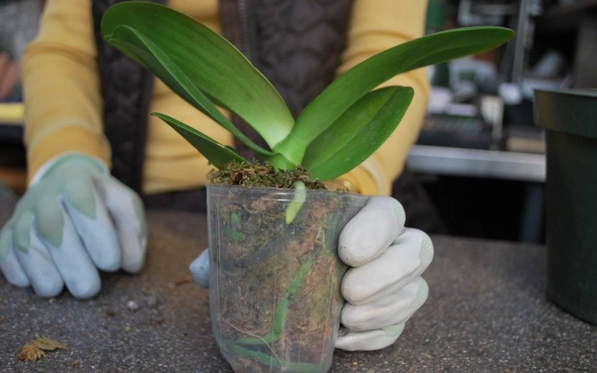 Что делать, если орхидеи не цветут долго (больше года), как им помочь и разбудить их: основные причины отсутствия цветов