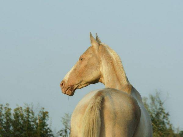 Светлая масть лошади