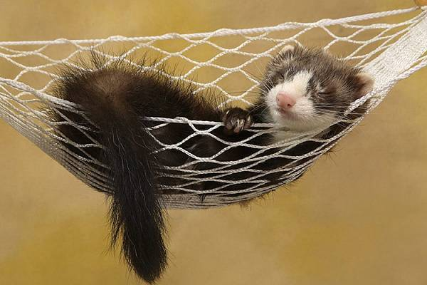 Хорек животное. образ жизни и среда обитания хорька | животный мир