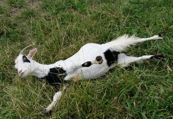 Обморочные козы: описание, видео