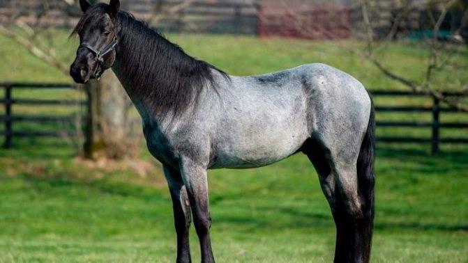 Ахалтекинская лошадь: масти, фото, описание, выведение, история и видео