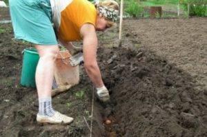 Как садить картофель по методу Галины Кизимы