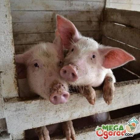 Какие добавки давать для быстрого роста свиней?