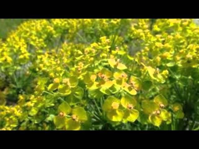 Молочай палласа противопоказания. лекарственное растение молочай палласа: применение и полезные свойства