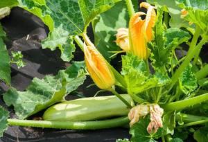 Выращивание кабачков в открытом грунте: посадка, правила ухода и особенности агротехники, полезные советы