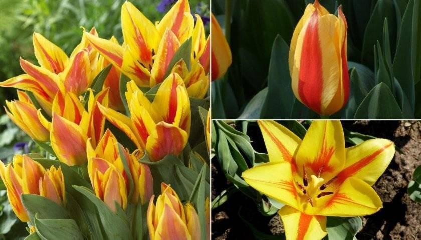 Махровые тюльпаны (46 фото): названия разновидностей тюльпанов красного и белого цвета, ранний сорт belicia и многоцветковый lilac perfection, поздние цветы «миранда»
