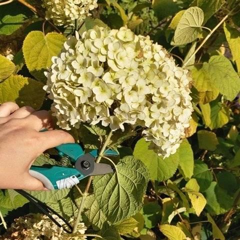 Как подготовить гортензию к зиме, древовидную, метельчатую, крупнолистную: список-памятка