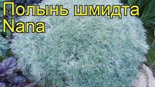 Полынь стеллера - artemisia stelleriana - описание таксона - плантариум