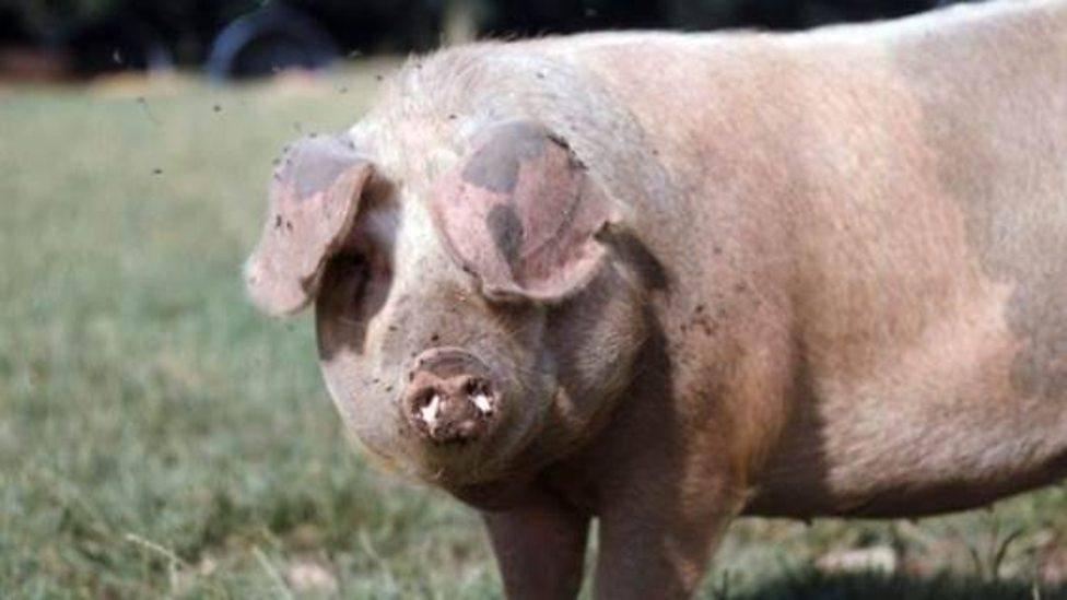 Разведение свиней – выгодный бизнес в домашних условиях