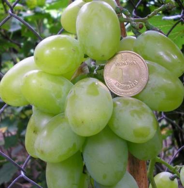 Усовершенствованный и масштабный сорт винограда «новый подарок запорожью»