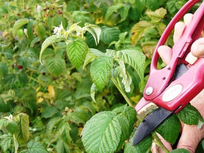 Как правильно обрезать малину? обрезка малины весной, летом, осенью фото и видео