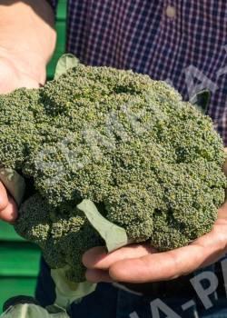 Какие сорта и гибриды капусты брокколи выбрать? отзывы тех, кто выращивал