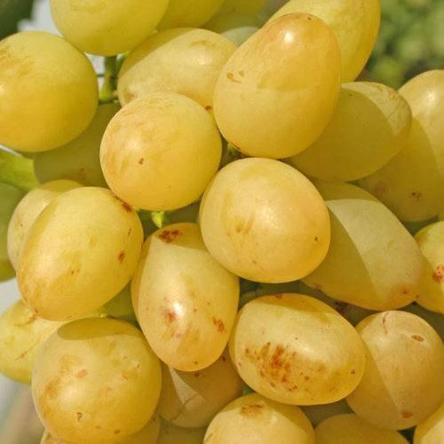 Особенности винограда сорта настя - агро журнал dachnye-fei.ru