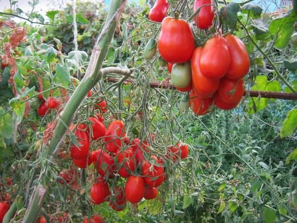 Идеальный сорт для начинающих — томат «крупная сливка»