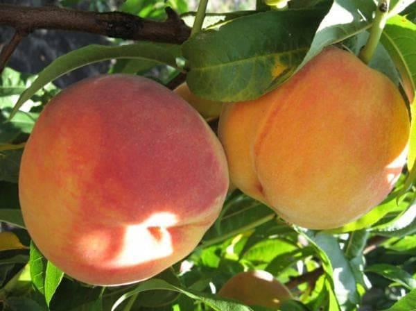 Персик в подмосковье: выращивание, сорта, самоплодные персик в подмосковье: выращивание, сорта, самоплодные