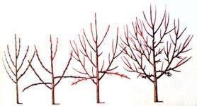 Обрезка сливы и формирование сливового дерева