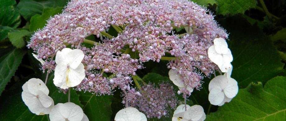 Гортензии: виды и сорта для российских садов