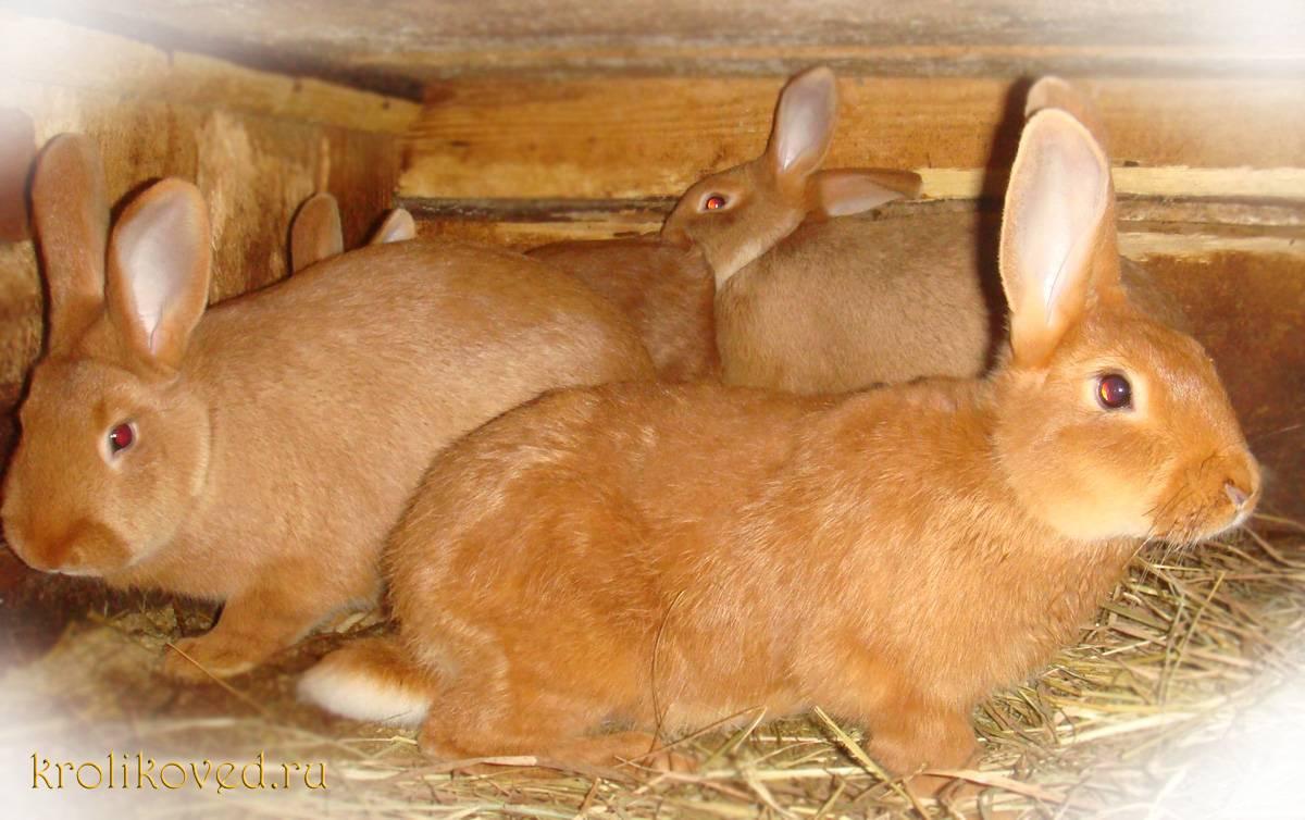 Рыжий кролик: описание пород — selok.info