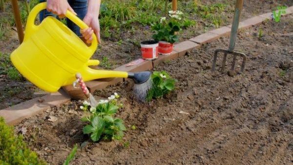 Описание клубники сорта эльвира — особенности выращивания