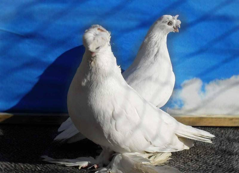 Узбекские бойные голуби: виды, экстерьер породы