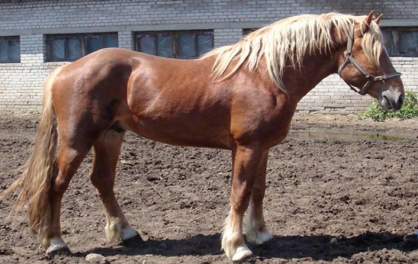 Порода лошадей владимирский тяжеловоз — фото и описание, характеристика, условия содержания, перспективы разведения.   cельхозпортал
