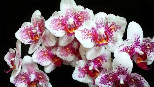 Орхидея каттлея: варианты ухода в домашних условиях и способы размножения