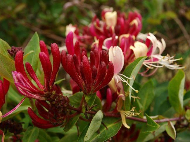 """Жимолость: описание сортов и секреты выращивания - проект """"цветочки"""" - для цветоводов начинающих и профессионалов"""