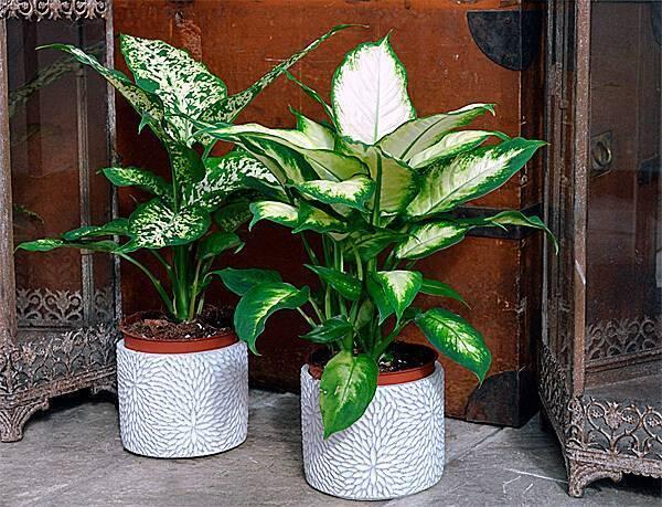 Цветок замиокулькас: ядовитый или нет отравление.ру цветок замиокулькас: ядовитый или нет