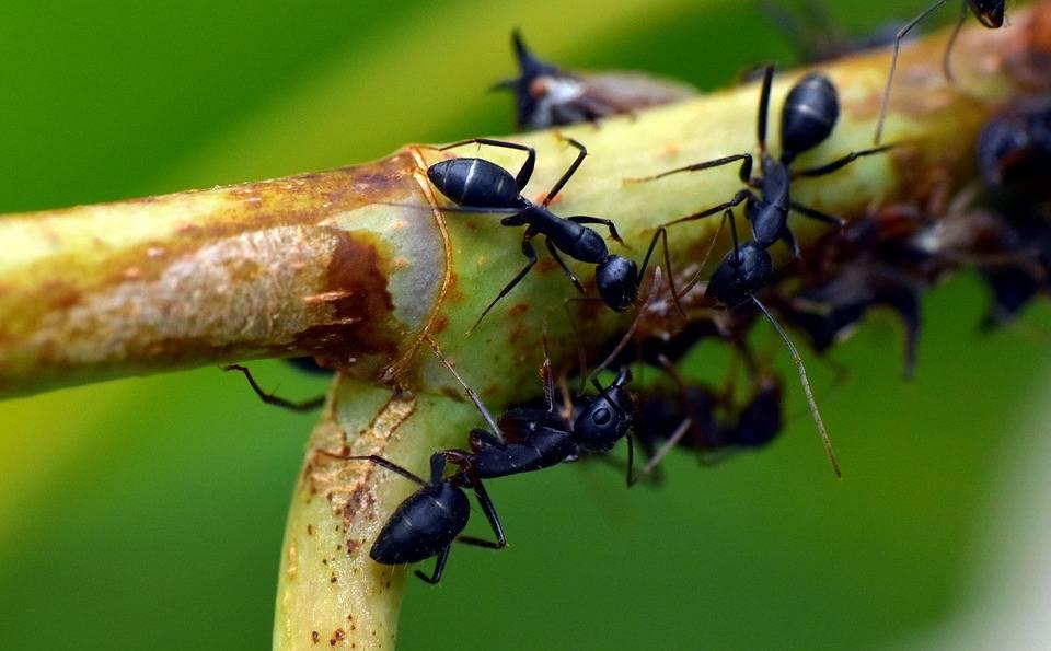 Как избавиться от муравьев в теплице: эффективные способы