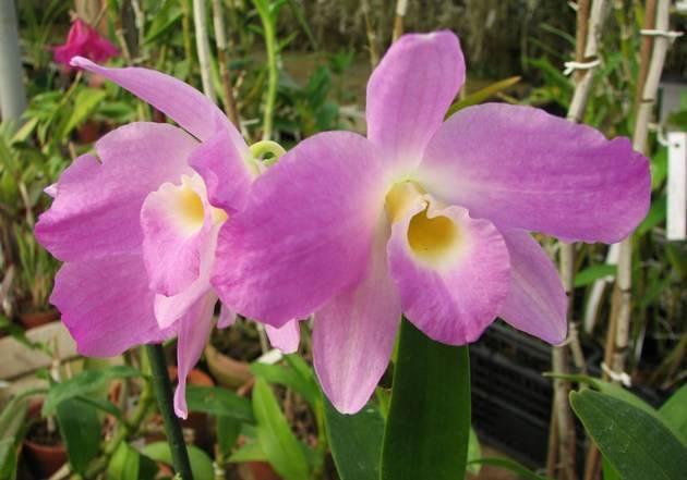 Орхидея дендробиум: описание и фото сортов нобиле, линдли и иных, выращивание вида в домашних условиях и на улице русский фермер