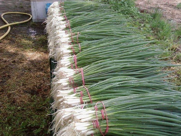 Все особенности посадки лука-порея рассадой