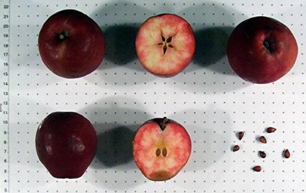 Декоративная яблоня недзвецкого: описание, фото, отзывы