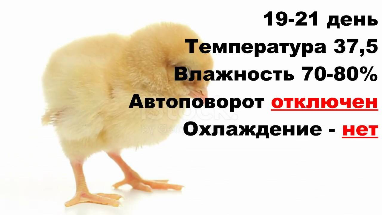 Инкубация гусиных яиц в домашних условиях - особенности и ошибки
