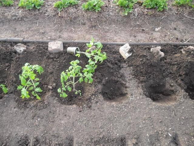 Что лучше класть в лунку при посадке томатов