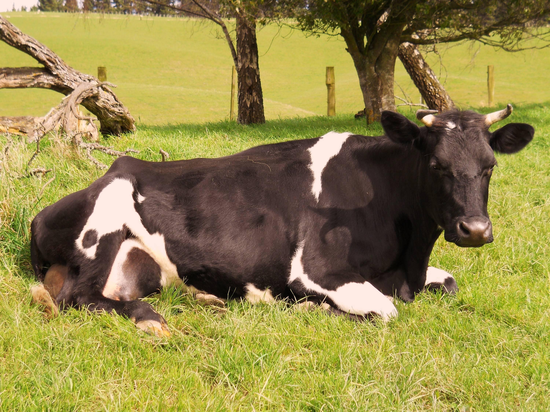 Послеродовой парез у коров: описание, как и чем лечить