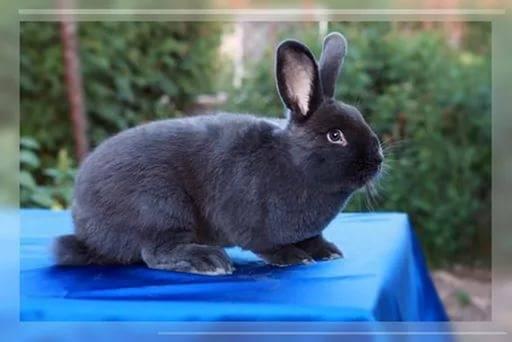 Характеристика породы венского голубого кролика, его достоинства и недостатки