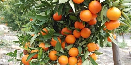 Сонник мандарины на земле. к чему снится мандарины на земле видеть во сне - сонник дома солнца