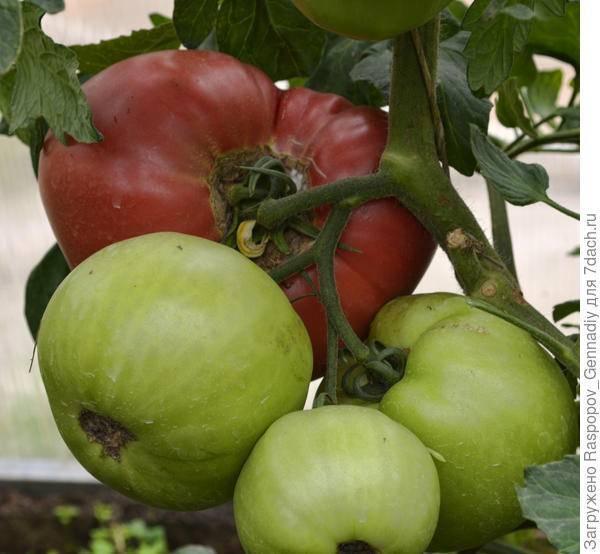 Фунгициды для томатов: инструкция по применению и описание топ-17 средств